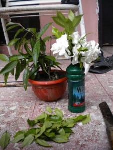 bunga melati siap untuk disajikan